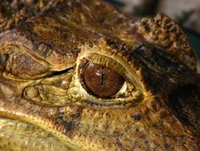 Free Crocodile Eye Royalty Free Stock Photography - 5797197