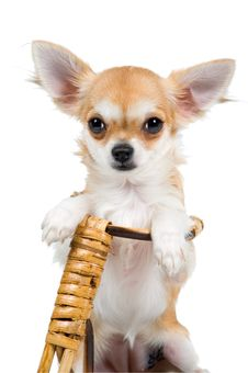 The Puppy Chihuahua On A Bicycle Stock Photos