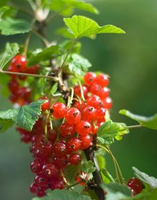 Free Red Currant Bush Royalty Free Stock Images - 5797859