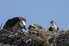 Free Osprey Stock Images - 5798004