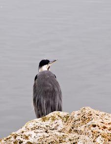Free Heron Fishing Royalty Free Stock Image - 5798246