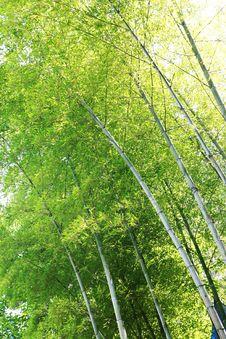 Free Sunlight Through Bamboos Royalty Free Stock Photo - 5798985