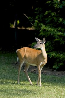 Free White-tailed Deer Royalty Free Stock Photos - 5799258