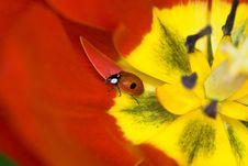 Free Ladybug On Tulip Flower Stock Photo - 5799300