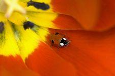 Free Ladybug On Tulip Flower Royalty Free Stock Image - 5799326