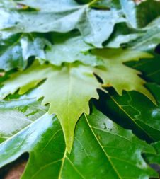 Free Background From Wet Leaves Royalty Free Stock Image - 5799416