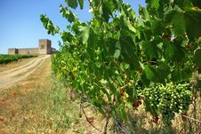 Free A Landscape With Grapevines. Royalty Free Stock Photography - 5799787