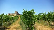 Free A Landscape With Grapevines. Royalty Free Stock Photography - 5799807