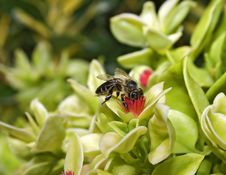 Free Bee At Flower Royalty Free Stock Photo - 5799975