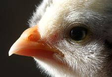 Free Baby Chick Face Royalty Free Stock Photography - 5799987