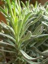 Free Lavender Stock Photos - 581043