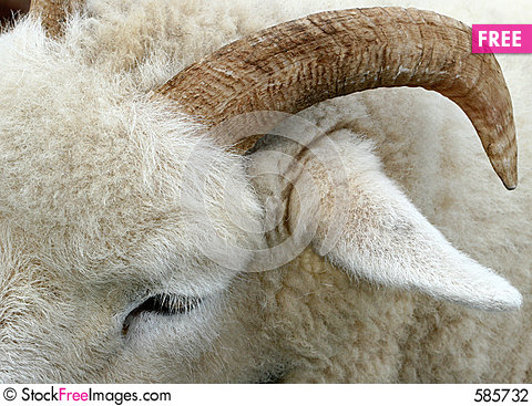The Horn of a Ram Stock Photo
