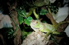 Free Young Green Iguana Royalty Free Stock Photography - 580317