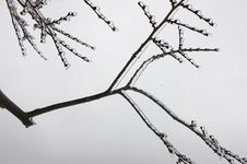 Free Tree Branch Coated In Ice Royalty Free Stock Image - 580426
