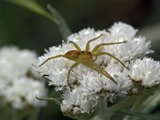 Spider-hunter On A Flower. Royalty Free Stock Image