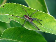 Spider-hunter On A Leaf. Royalty Free Stock Photography
