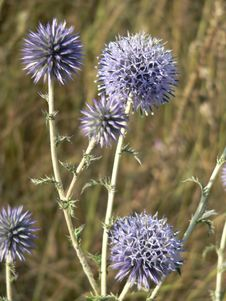 Free Violet Thistles Stock Photography - 581682