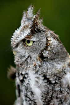 Free A Great Horned Owl Stock Photography - 582462