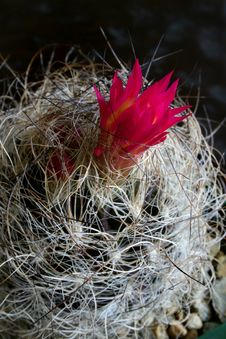 Free Neoporteria Cactus Royalty Free Stock Images - 582469