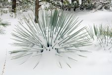 Free Yucca In Snow Royalty Free Stock Photos - 583188