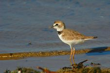 Free Collared Plover (Charadrius Collaris) Royalty Free Stock Image - 583326