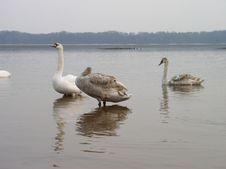 Free Swans Stock Image - 584081