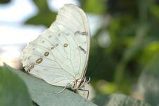 Free Morpho White (morpho Polyphemus) Stock Images - 584414