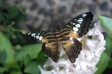 Free Clipper (parthenos Sylvia) On White Flower Royalty Free Stock Photos - 584438