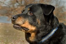Free Portrait Of A Rottweiler Stock Image - 584751