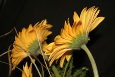 Free Yellow Gerberas Stock Photos - 585193