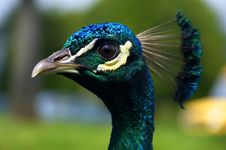 Free Peacock S Head Royalty Free Stock Photography - 585497
