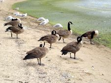 Free Wild Gooses Stock Images - 585624