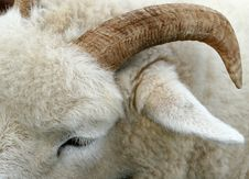 Free The Horn Of A Ram Stock Photography - 585732
