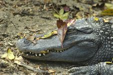 Free Crocodile Camouflage Royalty Free Stock Photo - 586545