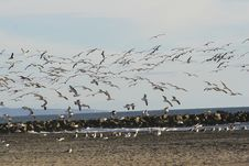 Free Flock Of Seagulls Royalty Free Stock Photo - 586575