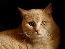 Free British Cat Royalty Free Stock Images - 587159