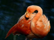 Free Pink Flamingo Stock Image - 587171