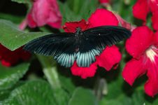 Mormon (papilio) On Red Flower Royalty Free Stock Photo