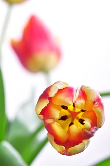 Free Tulip Close-up Royalty Free Stock Images - 588439