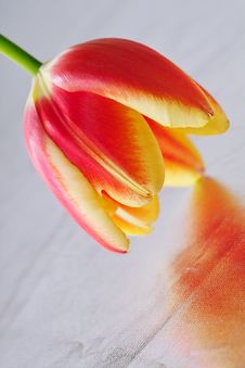 Free Tulip Close-up Stock Photography - 588442