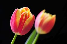 Free Tulip Close-up Royalty Free Stock Photo - 588445