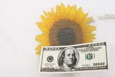 Free $100 Bill And A Yellow Sunflower Royalty Free Stock Images - 589499