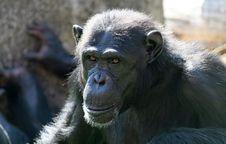 Free Chimpanzee Royalty Free Stock Images - 589519