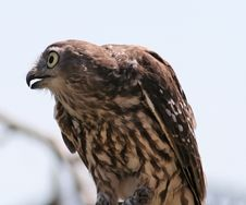 Free Falcon Looking Left Stock Image - 589521