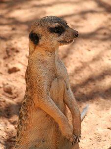 Free Meerkat Watching Royalty Free Stock Photo - 589605