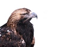 Free Eagle Stock Images - 589664