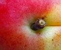 Free Apricot Royalty Free Stock Image - 5800366