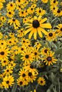 Free Group Of Black-eyed Susans Royalty Free Stock Photography - 5801827