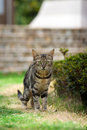 Free Standing Cat Royalty Free Stock Images - 5805099