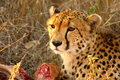 Free Cheetah On A Kill Stock Photography - 5805692